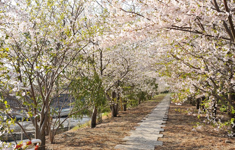 開滿櫻花的步道